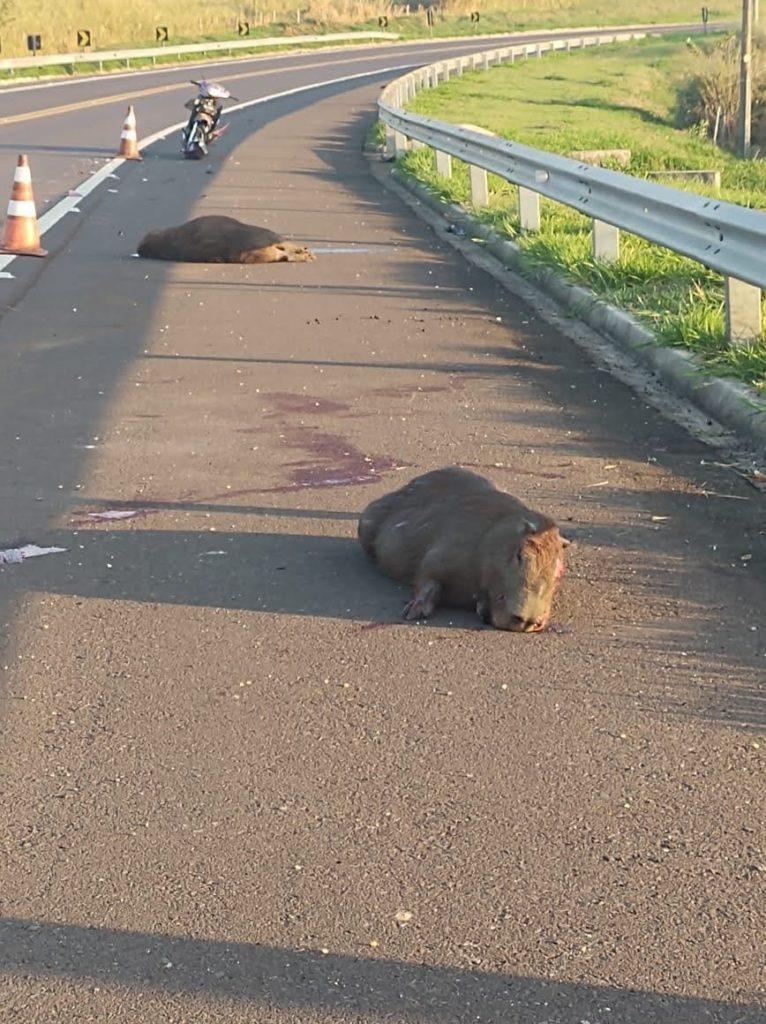 IMG 20200723 WA0006 766x1024 - Auxiliar de enfermagem fica ferida após atropelar capivaras em rodovia do Guatambu